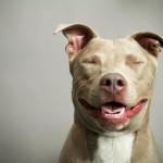 Smiling Pit Bull