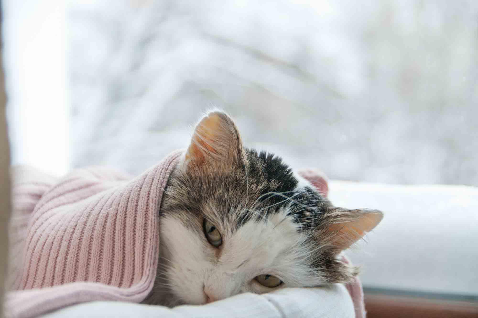 FIP in cats