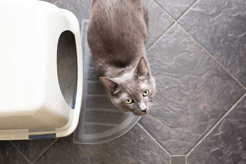 Feline urinary obstruction can be a threat to cat health.