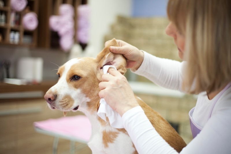 Pet ear cleaning is an important part of daily pet care