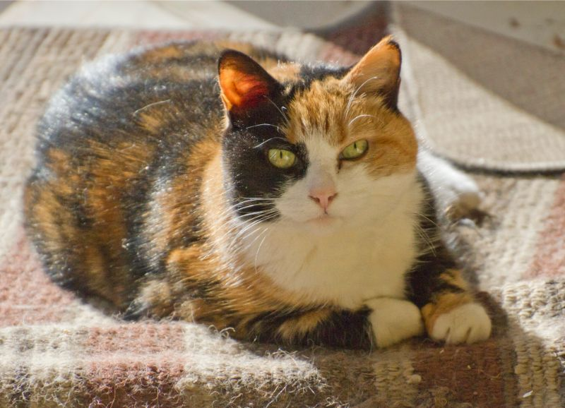 Helping Your Indoor Cat Lose Weight